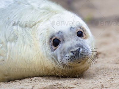 Surprised looking baby seal