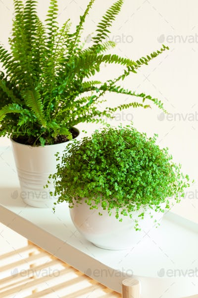 houseplants Nephrolepis, Soleirolia soleirolii in white flowerpo