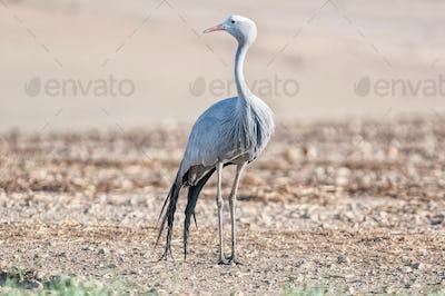 Standing Blue Crane
