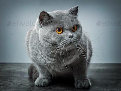 grey british shorthair cat