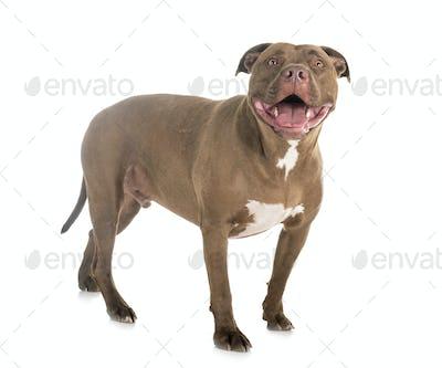 american pitbull in studio