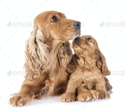 puppy and mother cocker spaniel
