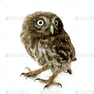 young owl (4 weeks)