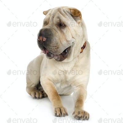 puppy Sharpei (9 mouths)