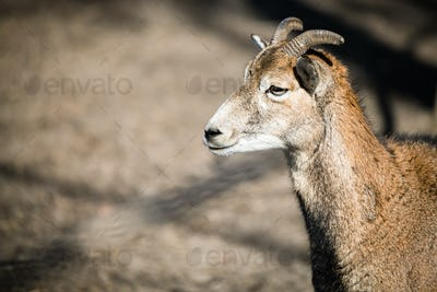 Portrait of mountain goat in nature park