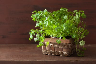 fresh cilantro herb in pot