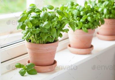 fresh basil herb in terracotta flowerpot