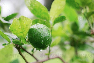 Lemon of wet on tree