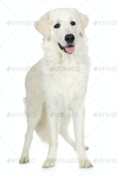 juvenile Labrador retriever cream