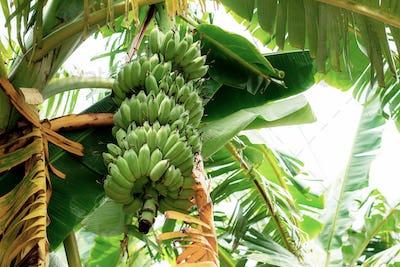 Banana raw on tree at sky