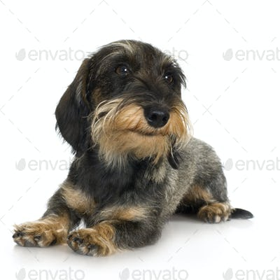 young Coarse haired Dachshund (11 mounths)