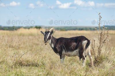black goat on grass natural pasture