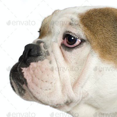 close-up on a english Bulldog