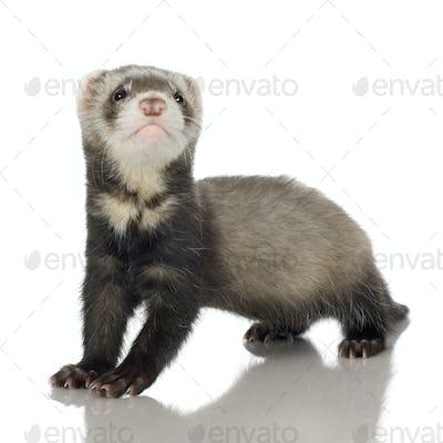 Ferret kit (6 weeks)