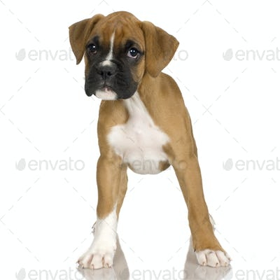 puppy Boxer (2 mounths)