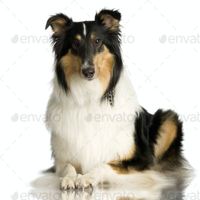 Collie ( 2 years )