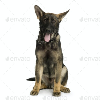 german shepherd / alsatian, police dog ( 5 month )