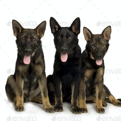 german shepherd / alsatian, police dog ( 5 month )