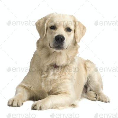 Labrador retriever cream ( 18 months )