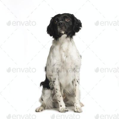 Epagneul Breton ( 4 years )