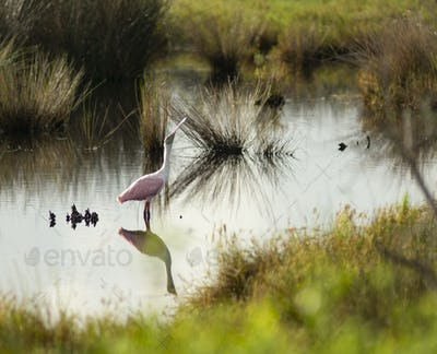 A Solo Roseate Spoonbill Wading Bird Takes A Drink of Water