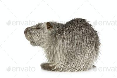 Coypu or Nutria (Myocastor coypus)