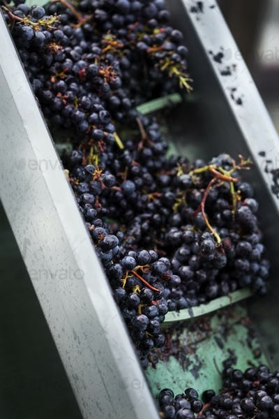 Harvest in a French winery near Bordeaux