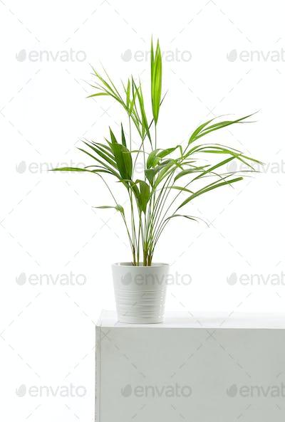 Areca palm on white background