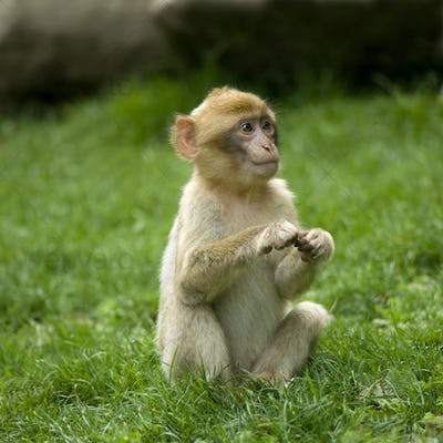 Monkey,Animal,