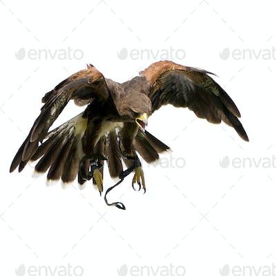 Harris's Hawk (18 months)