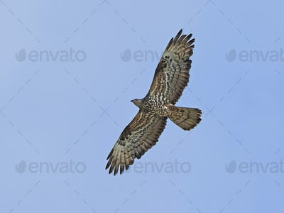 European honey buzzard (Pernis apivorus)