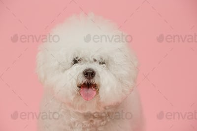 A dog of Bichon frize breed isolated on pink color