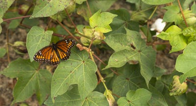 Monarch Butterfly Visits Blooming Cotton Field