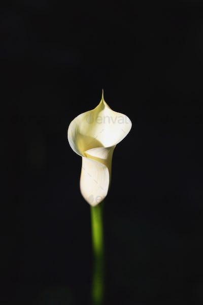 White flower of calla