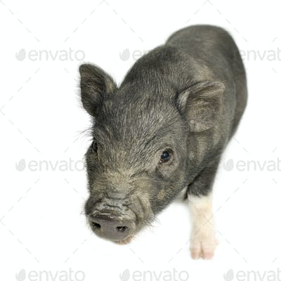 cross-bread vietnamese potbellied pig with wild boar