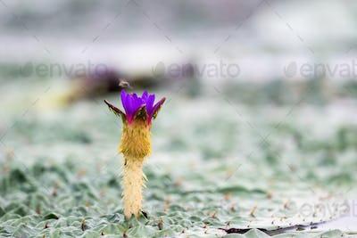 gorgon fruit flower