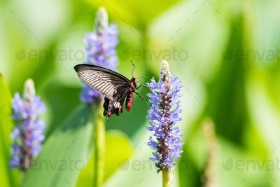 swallowtail butterfly on the pickerelweed flower