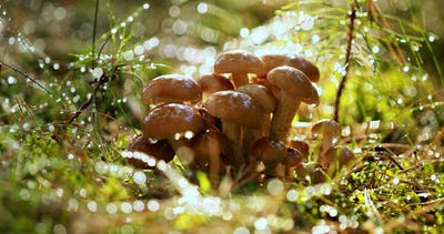 Armillaria Mushrooms of honey agaric In a Sunny forest in the ra