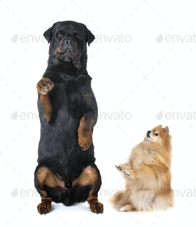 rottweiler and spitz