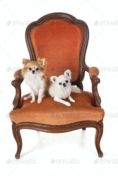 chihuahuas on armchair