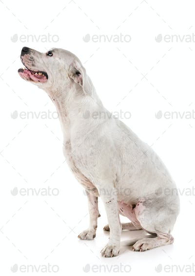 argentinia dog in studio