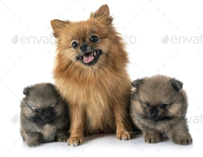 puppy pomeranian and mother