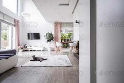 Grey cat on carpet in spacious living room interior with plant,