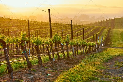 Vineyards at sunrise in California, USA