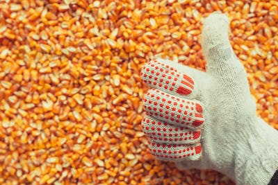Satisfied farmer gesturing thumbs up over harvested corn kernels
