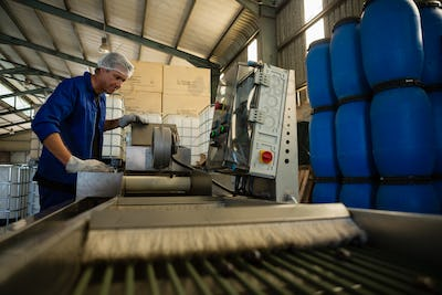 Worker putting olive in machine in factory