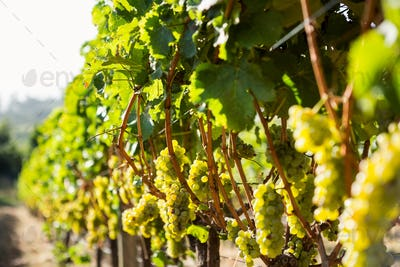 Grapes growing at vineyard