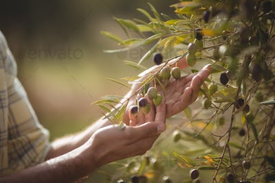 Mid section of man touching olives growing at farm