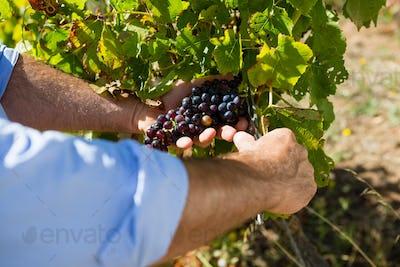 Close-up of vintner examining grapes in vineyard