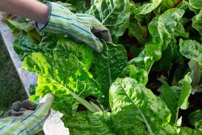 Woman examining leafy vegetables